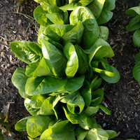 Mountain Valley Seeds Company Little Gem Romaine Lettuce Garden Seeds - 1 Oz - Non-GMO Vegetable Gardening & Microgreens Seed