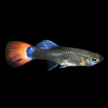 Assorted Female Fancy Guppies - Large (1.25