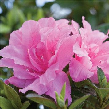 Encore Azalea Plants, Bulbs & Seeds 1 gal. Autumn Carnation 80391
