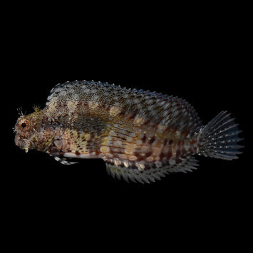 Lawnmower Blenny - Small (1