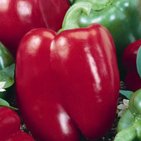Mountain Valley Seed Company Big Red Sweet Pepper Garden Seeds - 1 Oz - Non-GMO, Heirloom Vegetable Gardening Seed