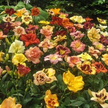 Daylily Nursery Mix of 15 Daylilies Bareroot, 1-2 Fan Root Groups