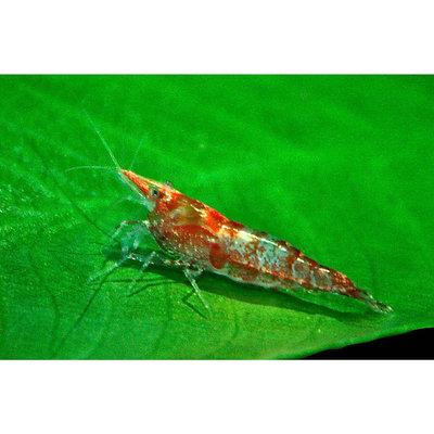 Red & White Shrimp, 0.5