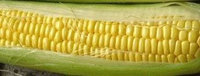 The Dirty Gardener Hybrid Bodacious Sweet Corn, 1 Pound