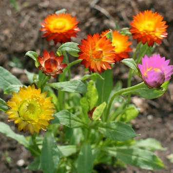 Seed Needs: Flowers 1,000 Seeds, Strawflower 'Mixed Colors' (Xerochrysum bracteatum) Seeds By Seed Needs