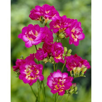 Van Zyverden Freesias Purple Rain Bulbs (Set of 25)