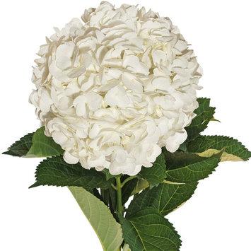 Natural Fresh Flowers - White Hydrangeas, 15 Stems