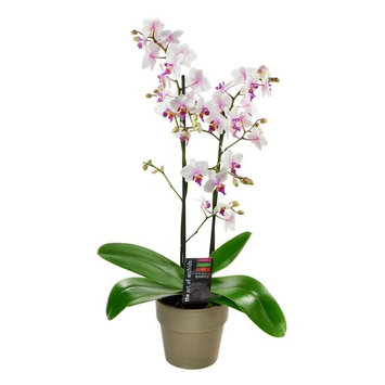 Kabloom Maxiflora Phalaenopsis Bicolor Orchid Plant In A Terracotta, Grey Pot