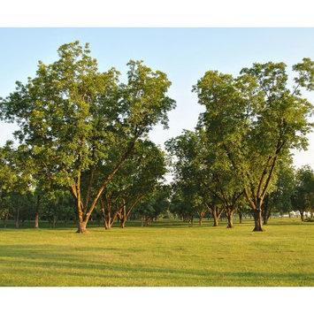 Van Zyverden Pecan Tree Collection Root Stocks (Set of 3)