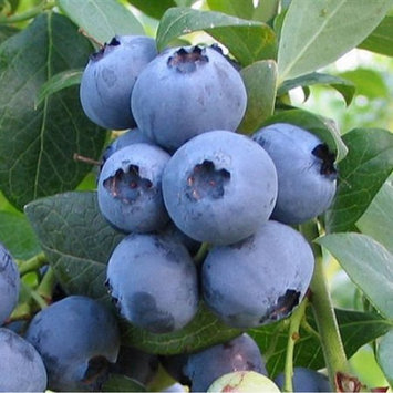 Flowerwood Nursery, Inc. Bless Your Heart Blueberry, Grow your own fruit, Live Plants
