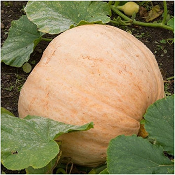 Seed Needs: Vegetables Package of 10 Seeds, Pacific Giant Pumpkin (Cucurbita maxima) Non-GMO Seeds by Seed Needs