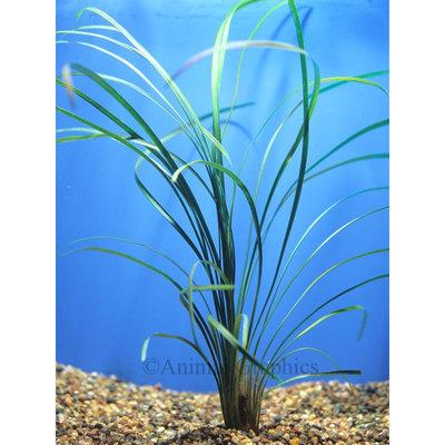 Petsmart Green Mondo Grass
