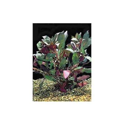 Petsmart Red Ludwigia, Red & Green