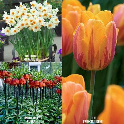 Color Your Garden Collection Set of 29 Bulbs - Orange - Van Zyverden
