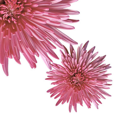 Natural Fresh Flowers - Pink Spider Mums, 50 Stems