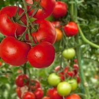 Mountain Valley Seeds Tomato Garden Seeds - Red Robin - 0.25 Oz - Non-GMO Vegetable Garden Seeds