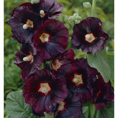 Van Zyverden Hollyhocks Nigra Roots (Pack of 5)