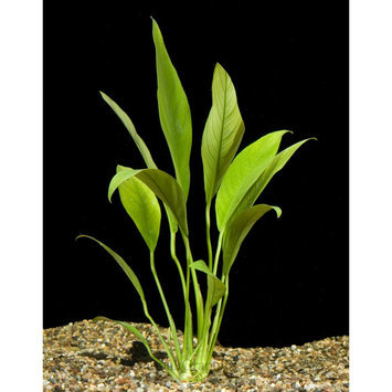 Top Fin® Anubias size: 8 in, Green