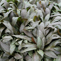 Petsmart Cryptocoryne Undulata Aquarium Plant, Green & Gray