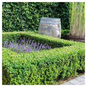 Cottage Hill Nursery Wintergreen Boxwood 1pc 3 - Quart Trade Gallon Evergreen Plant - Cottage Hill - U.S.D.A. Hardiness Zones 4 - 9, Green