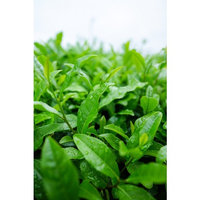 Laminated Poster Japan Matcha Green Tea Japanese Tea Sayama Tea Poster Print 24 x 36