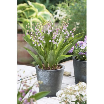 Van Zyverden, Pink Lily Of The Valley, Set of 6 Roots