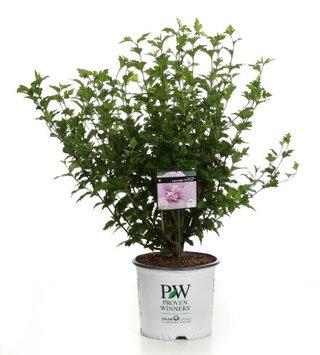 Proven Winners Lavender Chiffon (Hibiscus) Live Shrub, Light Purple Flowers, 3 Gallon