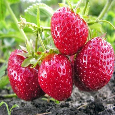 Hand Picked Nursery Ft. Laramie Everbearing 25 Live Strawberry Plants, NON GMO