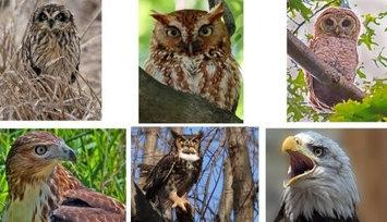 Hi-Look Inc. Steve Gifford Birds of Prey assorted