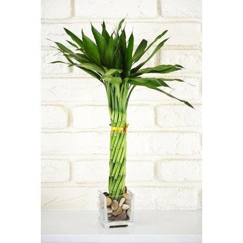 Elegant Twist Braid Unique Lucky Bamboo Plant Arrangement