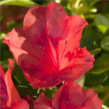Encore Azalea Plants, Bulbs & Seeds 3 gal. Autumn Sunset 80613