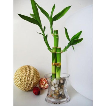 9GreenBox - Live 3 Style Lucky Bamboo Plant Arrangement with OV glass Vase Polish Pebble