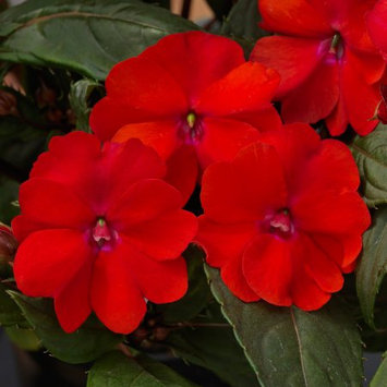 Delray Plants Blooming Sunpatiens - Fresh from the Farm - Red - 4 pack