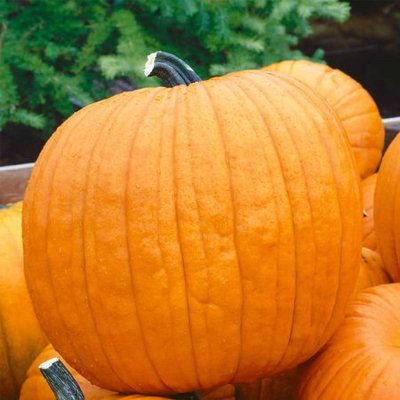 Mountain Valley Seed Company Pumpkin Garden Seeds - Howden Variety - 4 oz (treated) Seeds - Non-GMO, Heirloom Pumpkins - Rich Orange - Jack O'Lantern Pumpkin Gardening
