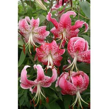 Euroblooms Lily Speciosum Var Rubrum Uchida, 6 Flower Bulbs