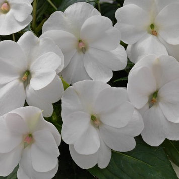Delray Plants Ready to Bloom Sunpatiens - Fresh from the Farm - White - 4 pack