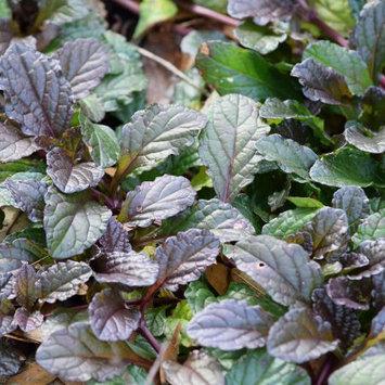 Mountain Valley Seeds Company Mustard Garden Seeds - Purple Wave - 5 Lb Bulk - Non-GMO Vegetable & Herb Gardening Seed