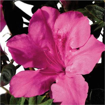 Encore Azalea Plants, Bulbs & Seeds 3 gal. Autumn Sangria 80413