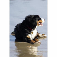 LAMINATED POSTER Bernese Mountain Dog Canine Animal Pet Friend Dog Poster Print 24 x 36