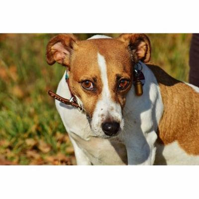 Laminated Poster Jack Russell Terrier Cute Animal Dog Pet Snout Poster Print 24 x 36
