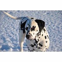 LAMINATED POSTER Domestic Animal Canine Pet Dog Dalmatian Snow Poster Print 24 x 36