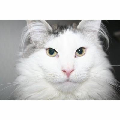 Laminated Poster Pet Kitten Cute Cat Cat Portrait Sweet Animal Poster Print 24 x 36