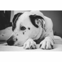 LAMINATED POSTER Pet Puppy Black And White Dog Animal Poster Print 24 x 36
