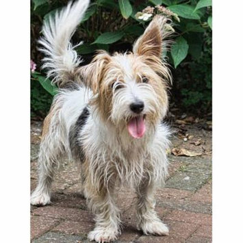 Laminated Poster Terrier Companion Pet Westland Terrier Animal Dog Poster Print 24 x 36