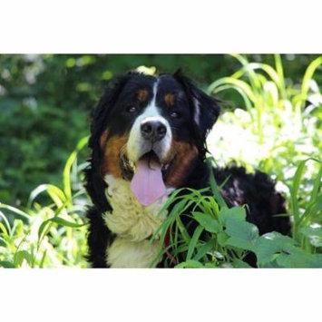 LAMINATED POSTER Nature Bernese Mountain Dog Big Dog Animal Dog Poster Print 24 x 36