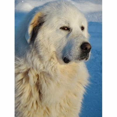 LAMINATED POSTER White Great Pyrenees Dog Pet Animal Snow Canine Poster Print 24 x 36