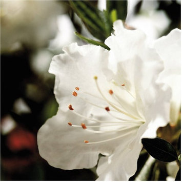 Encore Azalea Plants, Bulbs & Seeds 1 gal. Autumn Angel 80631