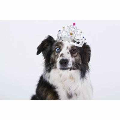 LAMINATED POSTER Funny Dog White Crown Purebred Dog Poster Print 24 x 36