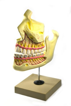 Eisco Labs Upper and Lower Jaw - 4 Times Enlarged - Mounted on stand