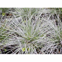 LAMINATED POSTER Poaceae Licorice Grass Fescue Bluegrass Festuca Poster 24x16 Adhesive Decal
